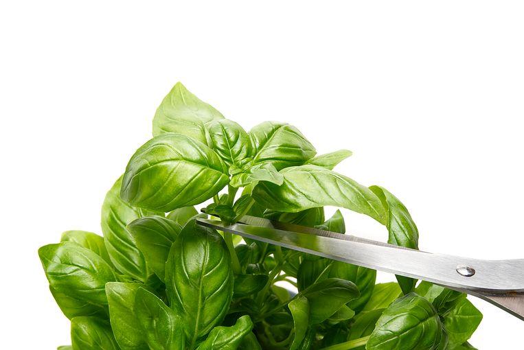 Kruidenplantjes van de supermarkt voldoen vaak niet aan de verwachtingen. Beeld Shutterstock