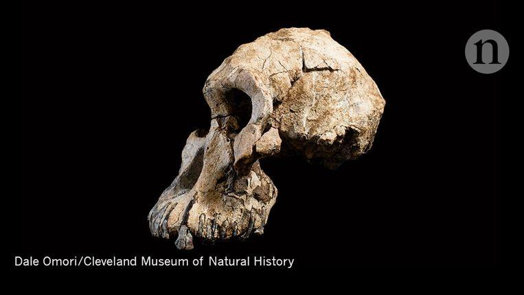 Uit een analyse van de schedel van MRD blijkt dat hij ongeveer 3,8 miljoen jaar oud is. Beeld Nature/ Cleveland Museum of Natural History