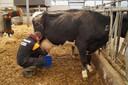 De leerlingen zagen er hoe een koe met de hand gemolken werd, al gebeurt dat in de praktijk bij het melkveebedrijf weliswaar machinaal.