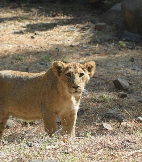 Verzorgster Duitse dierentuin lichtgewond na aanval leeuw