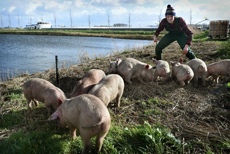 Varkens zijn losgelaten langs het Amsterdam-Rijnkanaal om de overlast van grauwe ganzen tegen te gaan. Vooral bij boeren is de overlast groot.  Beeld Marcel van den Bergh