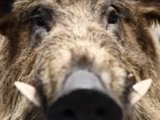 Horror in Eper bos: wandelaar aangevallen door wild zwijn