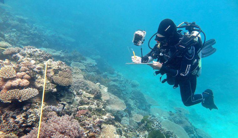 Een onderzoeker bestudeert het koraal.  Beeld AFP