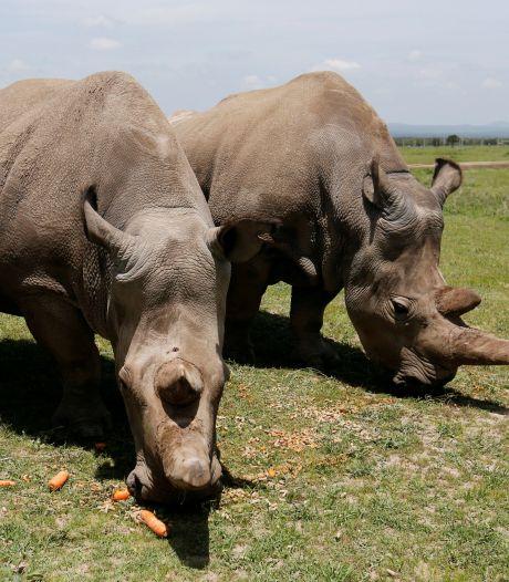 L'un des deux derniers rhinocéros blancs du Nord doit abandonner le programme pour sauver l'espèce