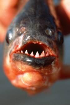 Toiletgebruikers gewaarschuwd  na vondst piranha in Brits riool