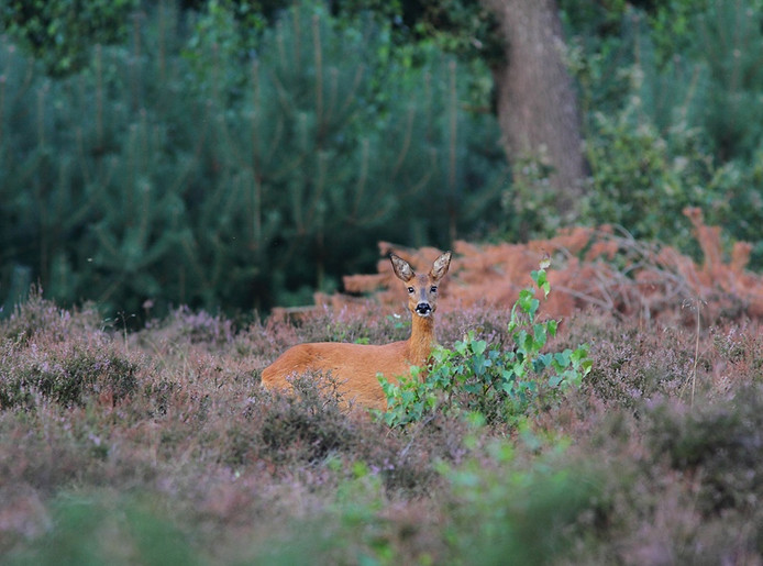Met een beetje geluk ziet de deelnemer aan de wandeltocht een hert in het wild.