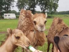 Ruim honderd kamelen in een Hollands landschap