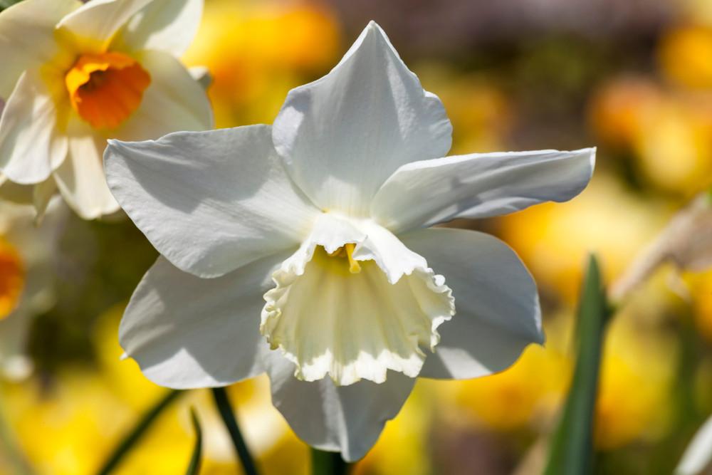 De Narcis Thalia was wel erg duur bij de tuinmarkt, ontdekte Romke van de Kaa.