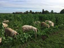 Open dag varkenshouderij Dykhoeve in Herwen trekt veel bekijks
