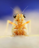 De haft (Cloeon dipterum) staat beter bekend als eendagsvlieg. Maar ze is geen vlieg, en ze leeft aanzienlijk langer dan een dag. Die naamgeving ook af en toe...