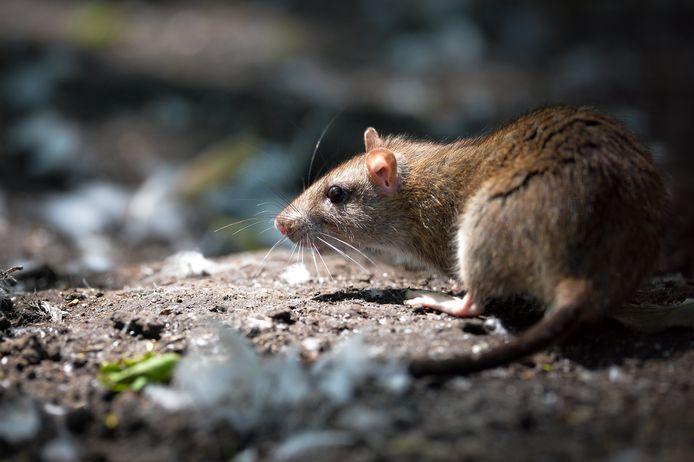 Een bruine rat.