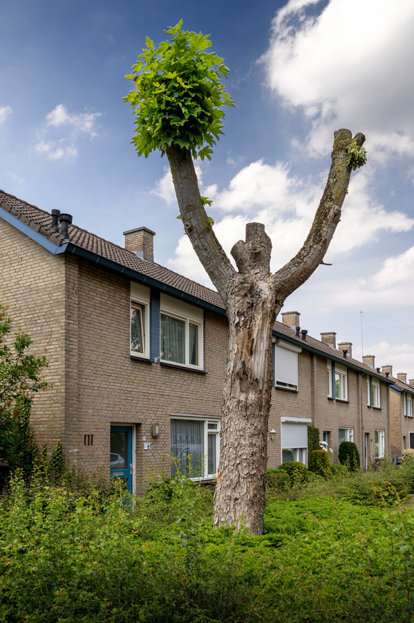 Nederland,  Schijndel, de ze boom op de kruising van de Pastoor Dondersstraat enn Deken van Dijk gaat om.