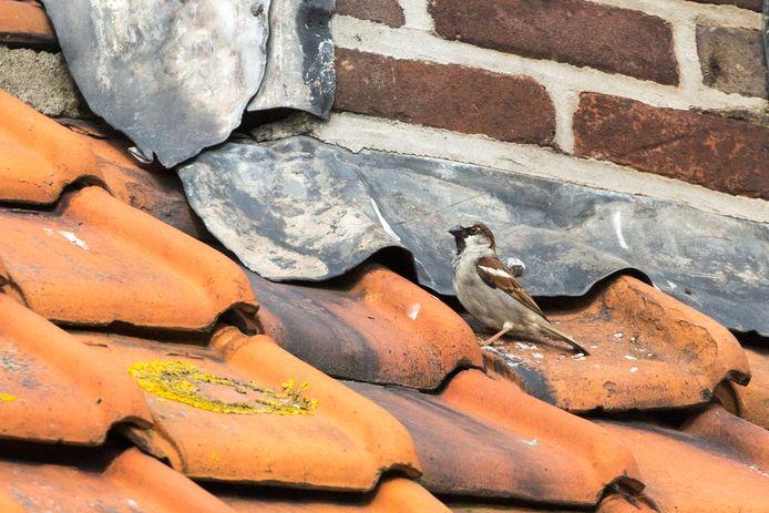 Mussen nestelen graag onder een oude dakpan, maar bij nieuwbouw zijn ze afhankelijk van nestkastjes.