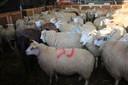 Moslims slachten onverdoofd schapen op een tijdelijke slachtvloer in Aalst. (Archieffoto.)