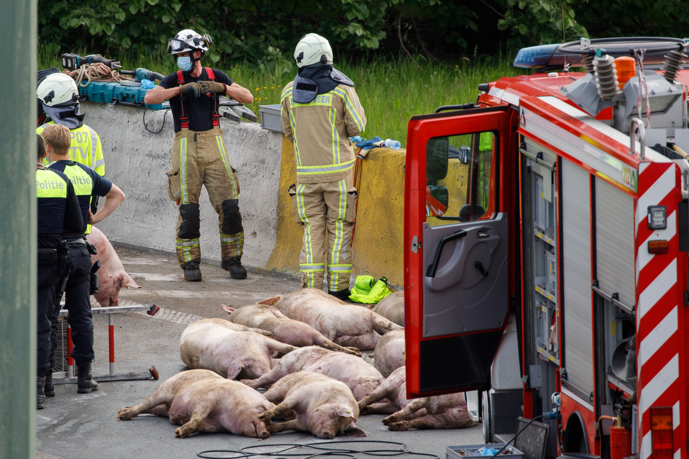 Een vijftiental dode varkens lagen na het ongeval op de weg.