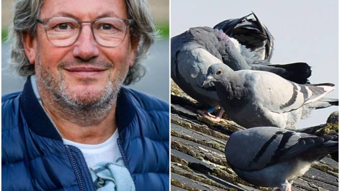 Kom, kom duifje, een portie... anticonceptie: De Panne wil aantal duiven inperken