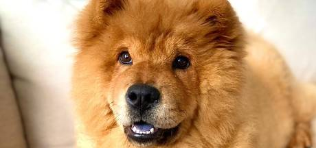 Binnen 12 uur was hond Noma (bijna 1) dood; bazin Anjo waarschuwt voor vergiftiging