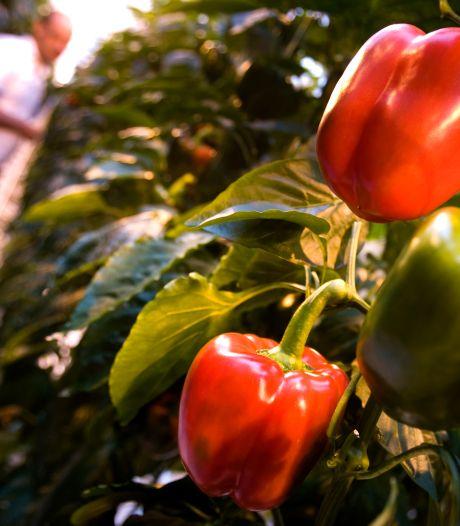 Tuinders willen paprika's en rozen redden: verkoper chemisch bestrijdingsmiddel vecht boete aan