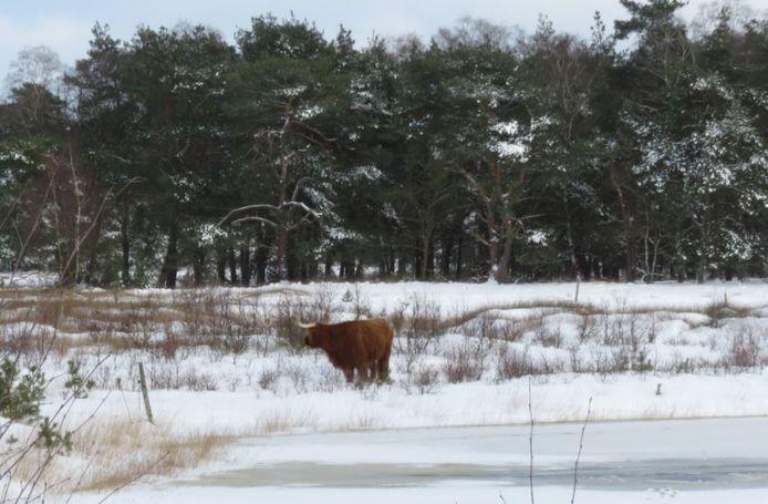 Een Schotse hooglander staat bij een plas in natuurgebied De Sprengenberg, waar een jong dier waarschijnlijk door het ijs zakte. De drinkvijver wordt eind deze week onderzocht door Natuurmonumenten.