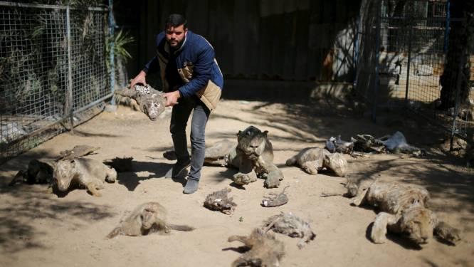 Gaza zoo verkoopt laatste 15 dieren om ze van hongerdood te redden