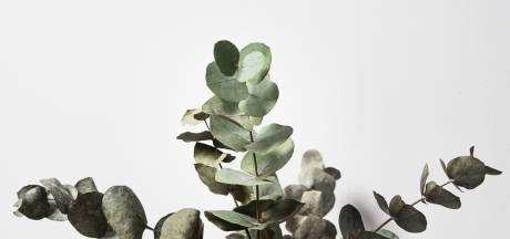 Pourquoi il est bon d'accrocher des branches d'eucalyptus dans sa douche