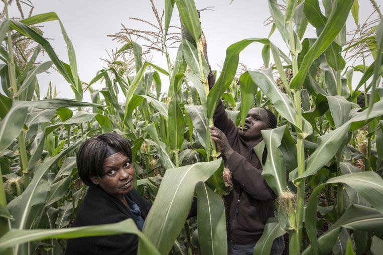 Maisveld in Kenia waar het gebruik van organische mest en kunstmest wordt vergeleken, 2013. Foto HH  Beeld -
