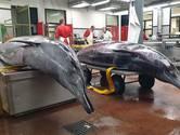 Aangespoelde spitssnuitdolfijnen zijn zogende moeders: 'Kalveren zwemmen mogelijk nog rond'