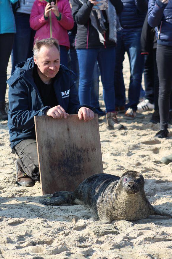 Zeehondenvrijlating Blankenberge: Manu Pottin met een van de zeehondjes