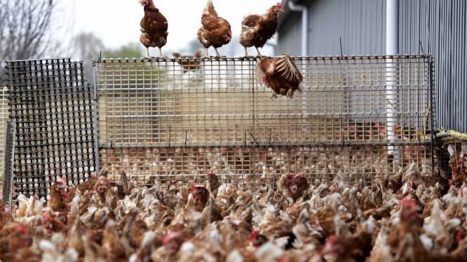 Verscherpte maatregelen na vogelgriep in Waregem: pluimvee-eigenaars in straal van 10 kilometer moeten inventaris maken