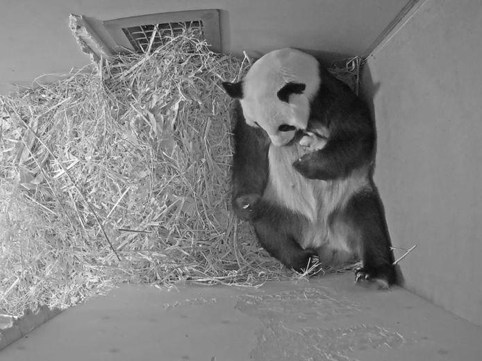 Nieuw beeld van de pandababy in Ouwehands Dierenpark.