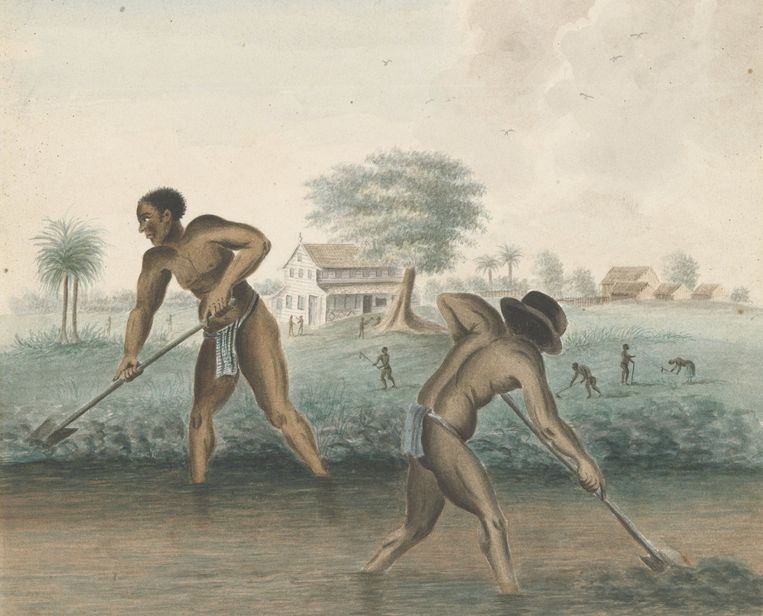 Tot slaaf gemaakte mannen werken op het land, anoniem, ca. 1850 (uit de aquarel-collectie van het Rijksmuseum). Beeld Rijksmuseum