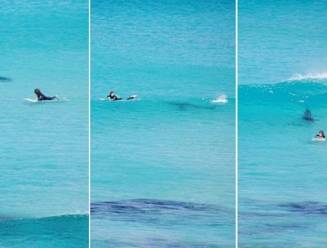 De surfer en de grote witte haai: hoe loopt dit af?