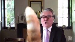"""""""Rojo, doe je staart omlaag"""", kat van Schots parlementslid loopt in beeld tijdens online vergadering"""