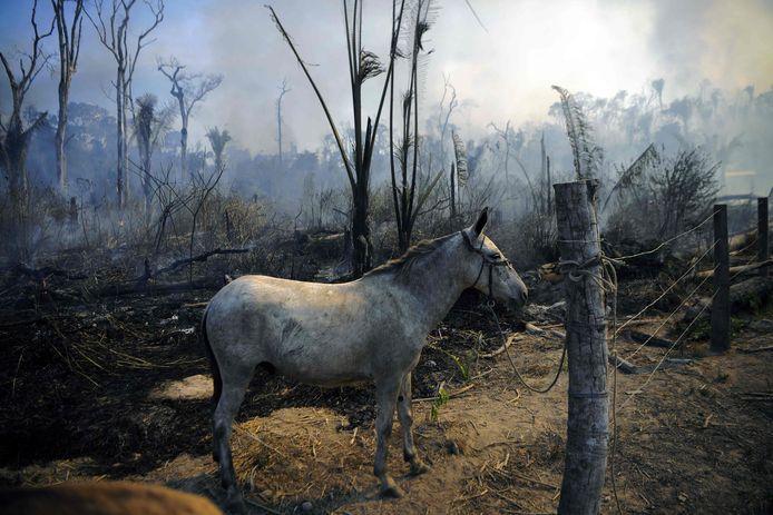 Een ezel loopt rond in een deel van het verbrande Amazoneregenwoud.