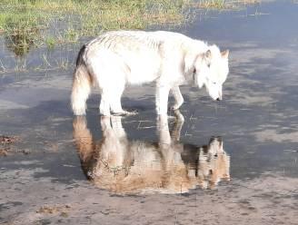 "Foto van weerspiegelende wolfhond geselecteerd voor wedstrijd National Geographic: ""Dat lukt me geen tweede keer"""
