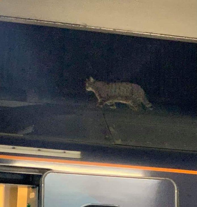 De kat loopt in alle rust op het dak van de trein.
