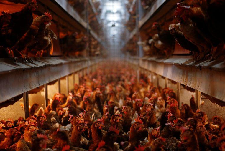Kippenkwekerij in Wortel. Bij pluimvee ging de stijging van het aandeel uit industriële productie van 27 naar 72 procent in 12 jaar. Beeld REUTERS