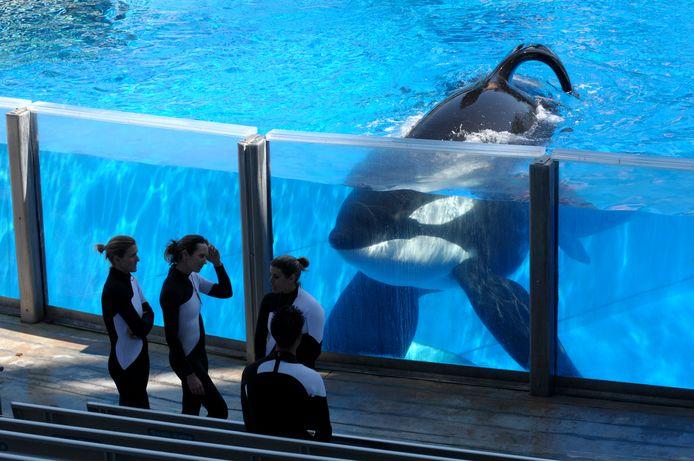 Archiefbeeld : De inmiddels overleden en beroemde orka Tilikum in een bassin in SeaWorld Orlando