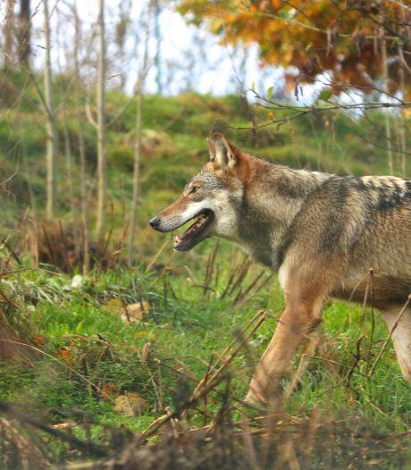 Waarom een wolf neerschieten weinig nut heeft en waarom je wel de Bokito in jezelf wakker moet maken