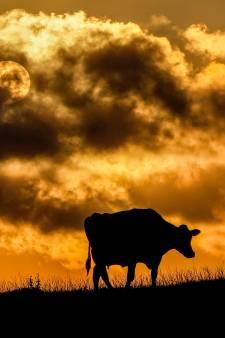 """Deux cas atypiques de """"vache folle"""" détectés au Brésil"""