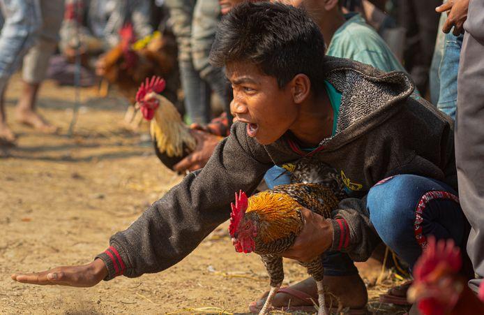 Combat de coqs, vendredi passé, en Inde