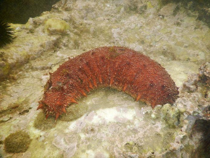 De zeekomkommer is eetbaar en wordt daarom commercieel geoogst.