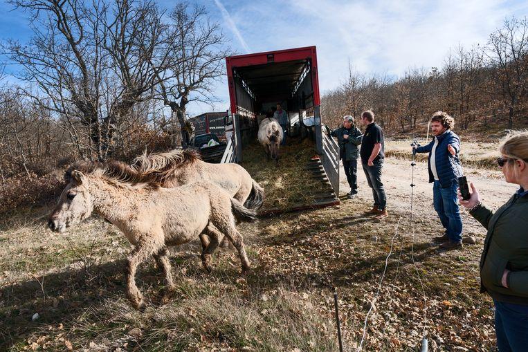 Aankomst van de paarden uit de Oostvaardersplassen in natuurgebied Paleolitico Vivo bij Atapuerca in Spanje.  Beeld Hollandse Hoogte / Olivier Middendorp Fotografie