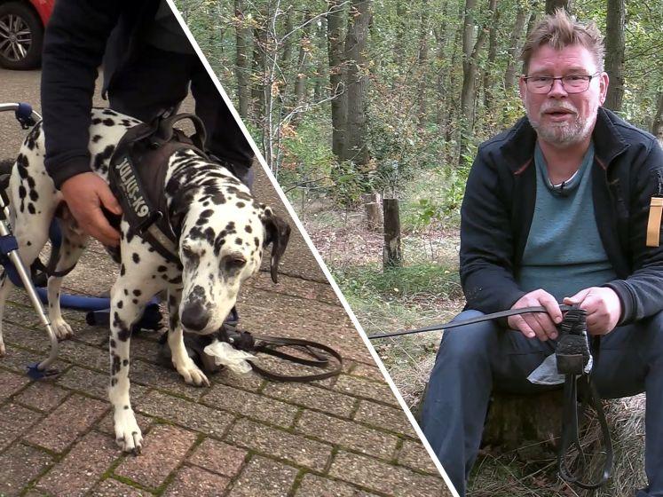 Bikkelhond Bono heeft een rolstoel: 'Maar het gaat elke dag een beetje beter'