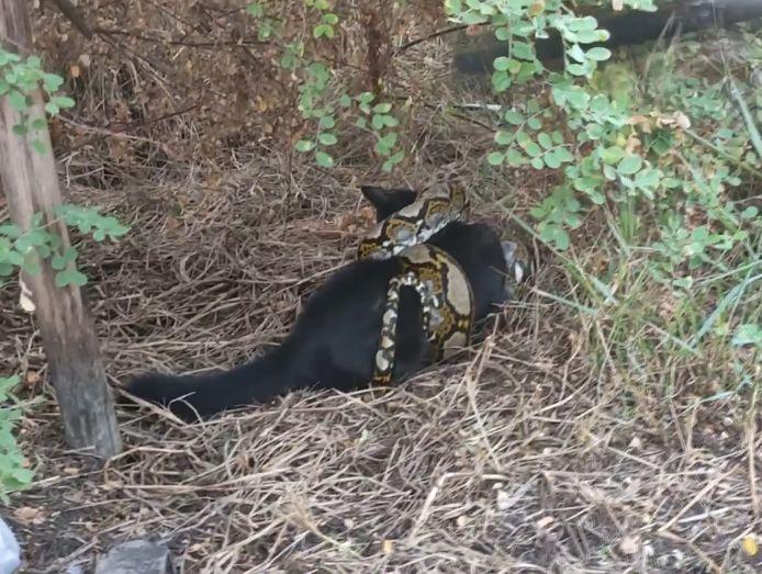 """""""Porsche"""" a été entendu en train de crier à l'aide alors qu'un reptile de 3 mètres de long s'enroulait autour de lui."""