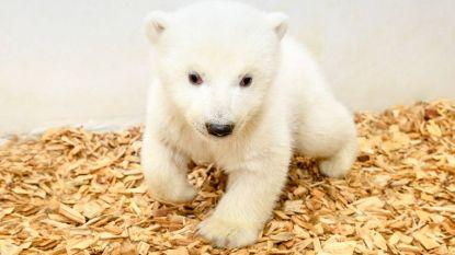 VIDEO. Het is een meisje! Elf weken oud ijsbeertje laat zich zien in Berlijnse zoo
