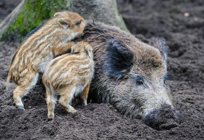 Twee jonge biggen bij hun moeder.