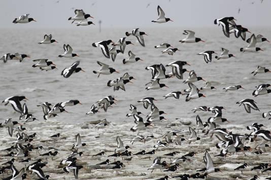 Jaarlijks gebruiken 11 miljoen trekvogels de drooggevallen Wadden als voedselplaats.