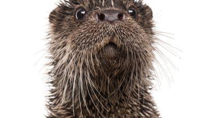 Otter komt weer piepen
