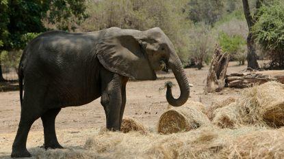 Zimbabwe wil honderden olifanten verhuizen wegens aanhoudende droogte